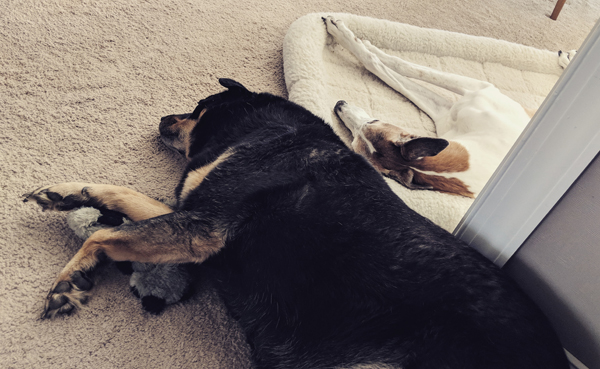 image of Zelda the Black and Tan Mutt and Dudley the Greyhound lying beside each other, next to me while I work; Zelly is lying with a plushy toy and Dudz is in his fuzzy bed