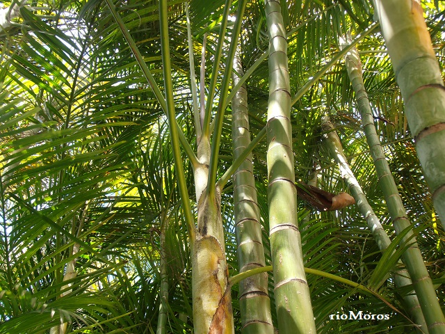 Palmera bamb dypsis lutescens plantas riomoros - Jardin de bambu talavera ...
