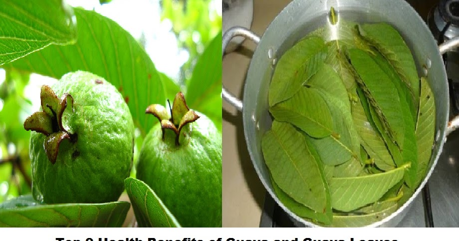 health benefits of guava leaves Guava is one of the popular tropical fruits belonging to myrtaceae family here are the uses, benefits & nutritional facts listed for your insight.