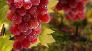 Manfaat Buah Anggur Merah Untuk Kesehatan Tubuh Manusia