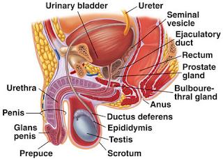 Gambar dan Anatomi Alat Reproduksi Laki-Laki