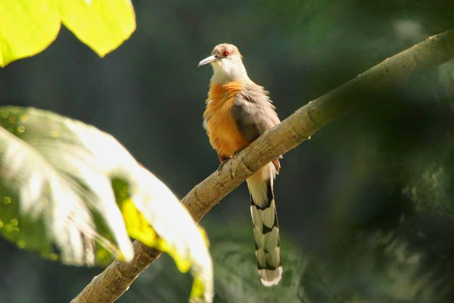 Cuco lagartero jamaicano: Coccyzus vetula