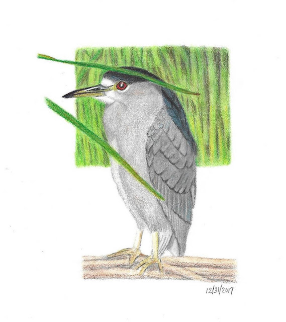Black-crowned Night-Heron colored pencil drawing