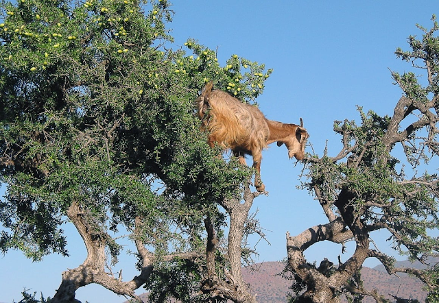 Goats graze on an argan tree. In the fruiting season