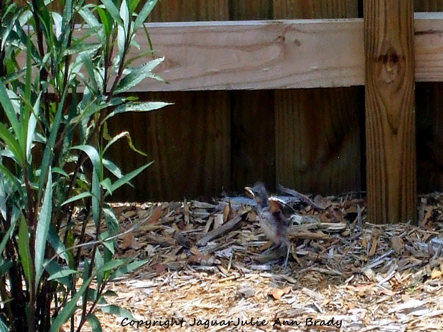Baby Mockingbird Testing Its Wings for the First Time