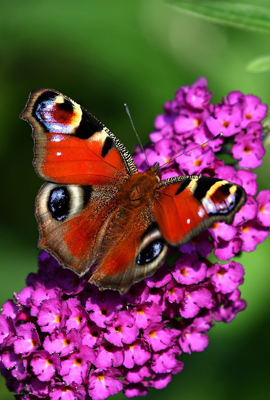 Picture of a peacock butterfly.