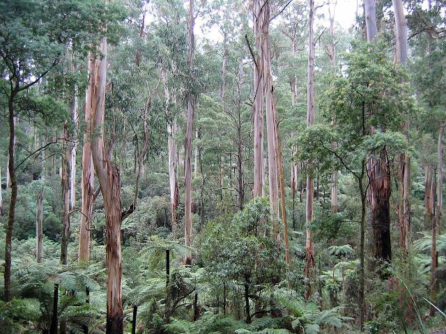 Foreste Eucalipto