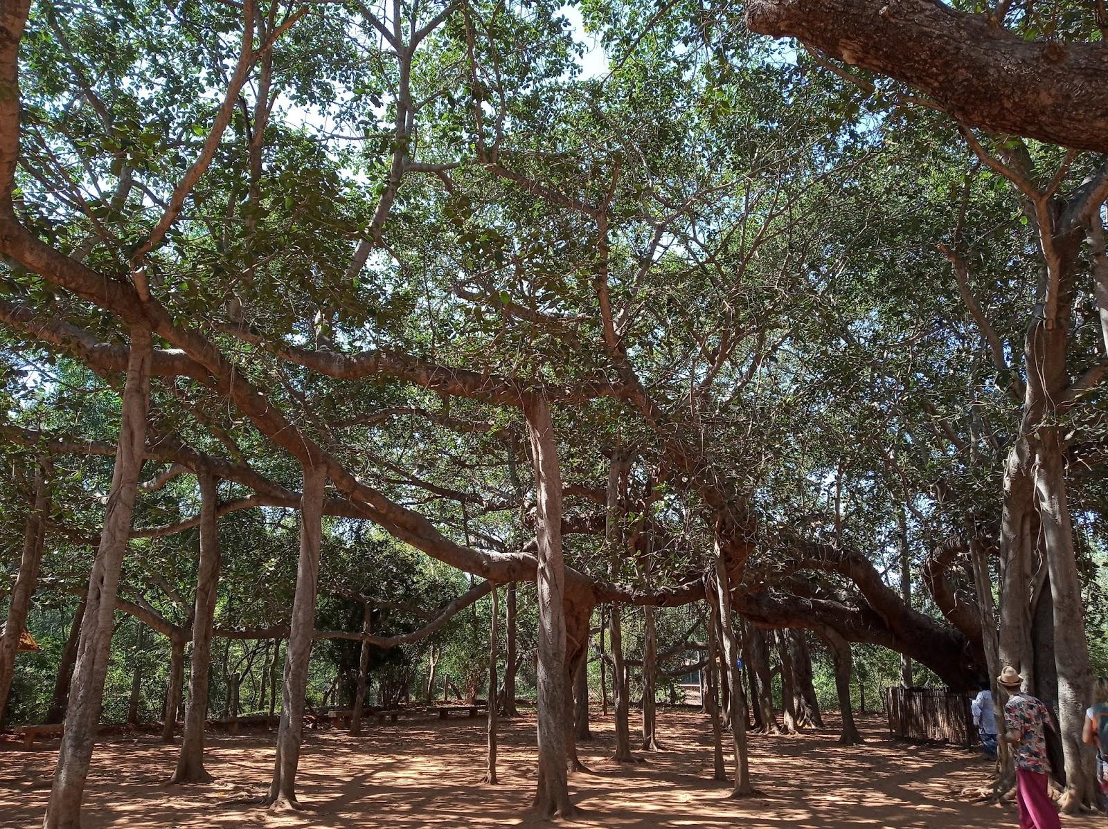Banyan tree Auroville, India | Ummi Goes Where?