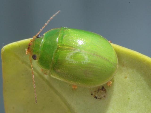 Paropsides%2Bcalypso_green%2Bleaf%2Bbeet