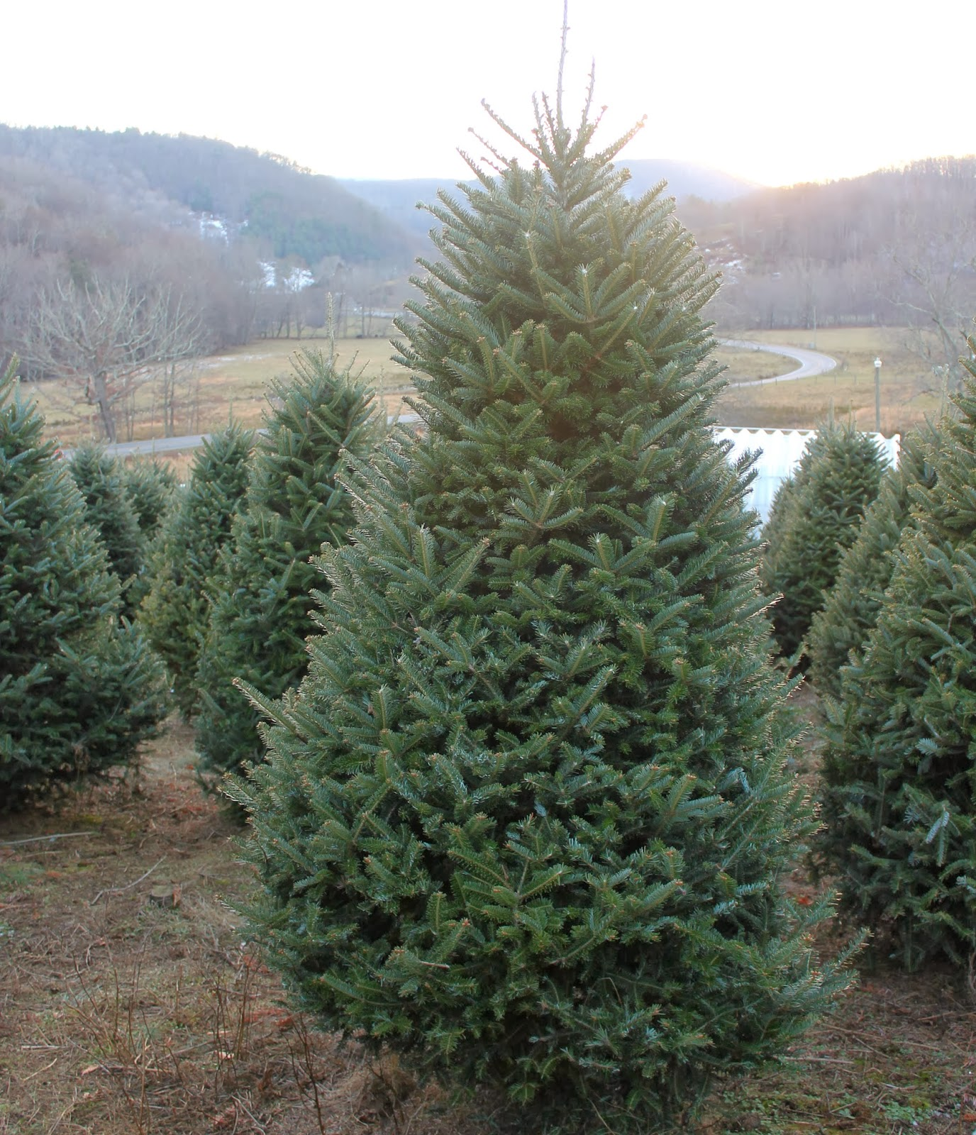 Best Christmas Tree Farms In Nc: 2013 Christmas Tree