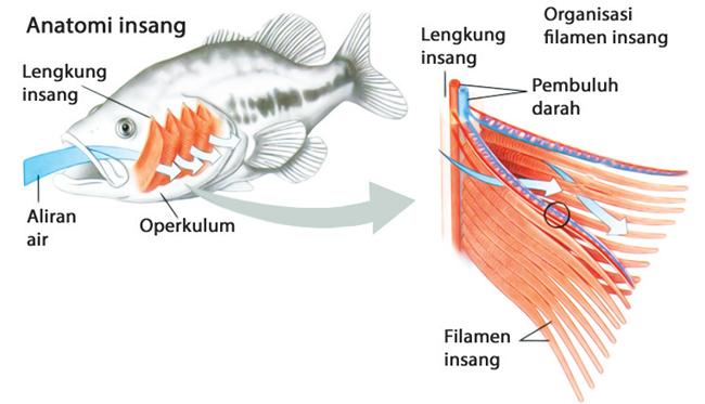 Pernapasan pada Ikan
