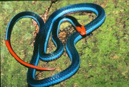 งูปะการังสีฟ้า (Blue Coral Snake)