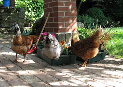 Unsere Hühner suchen nach Leckerlies