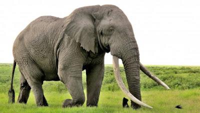 Kisah Mukidi dan Gajah