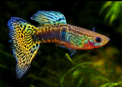 Asal usul ikan jenis guppy cobra
