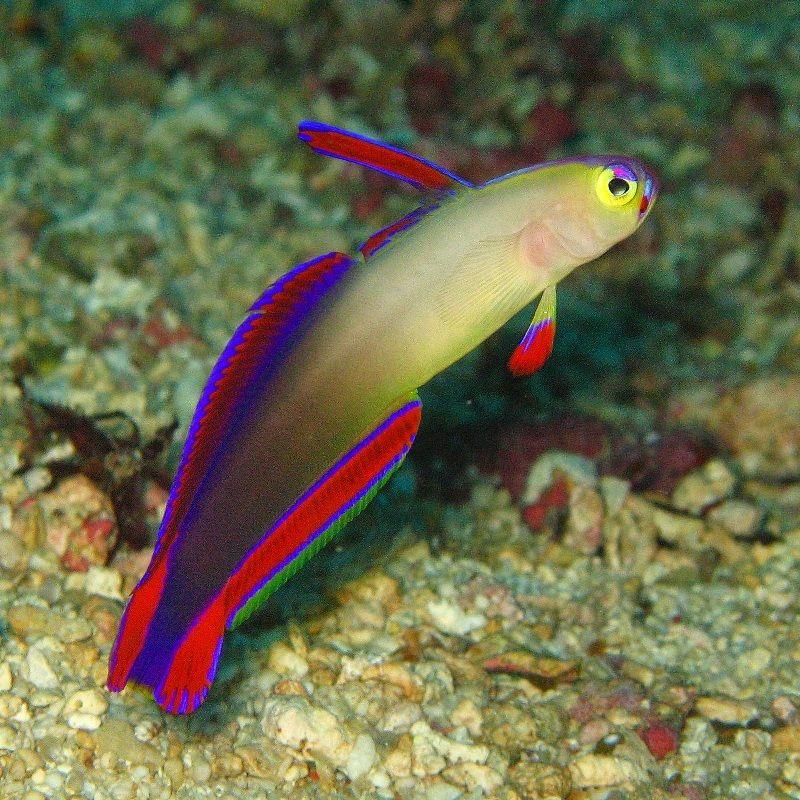 Gambar Ikan Laut Jabing