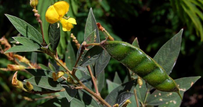Manfaat Tanaman Gude Untuk Menyembuhkan Diare dan Penyakit Kuning