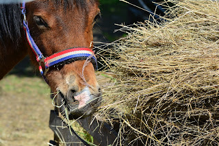 A pony wearing a blue, red and white head collar eating hay out of a wheel barrow