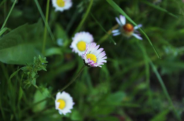 Cabezuelas florales de las margaritas, bellis perennis