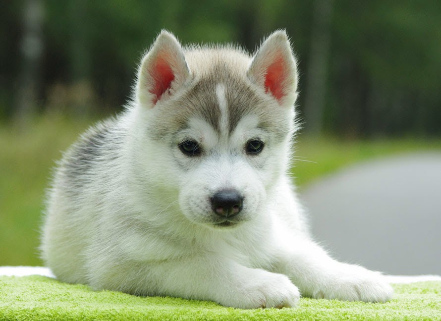 Different Breeds Of Dogs Siberian Husky Puppies Different Breeds