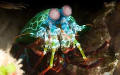 Udang Mantis - Sekitar Dunia Unik