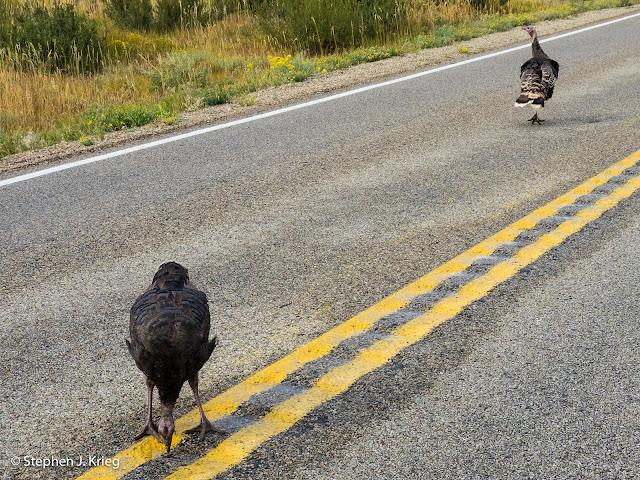Wild turkeys, Mesa Verde National Park, Colorado.