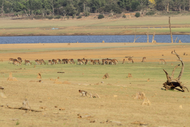 Spotted Deer grazing on the dry reservoir bed, Kabini Tiger Reserve, Karnataka