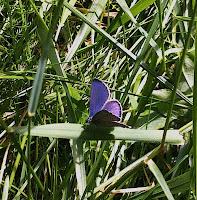 sinisiipi, perhonen