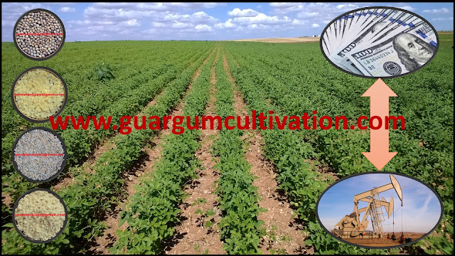 Guar seed and Guar gum will remain under pressure of speculators, Guar, guar gum, guar price, guar gum price, guar demand, guar gum demand, guar seed production, guar seed stock, guar seed consumption, guar gum cultivation, guar gum cultivation in india, Guar gum farming, guar gum export from india , guar seed export, guar gum export, guar gum farming, guar gum cultivation consultancy, today guar price, today guar gum price, ग्वार, ग्वार गम, ग्वार मांग, ग्वार गम निर्यात 2018-2019, ग्वार गम निर्यात -2019, ग्वार उत्पादन, ग्वार कीमत, ग्वार गम मांग, Guar Gum