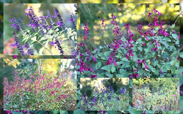 sauge rose violette amstad et wendish