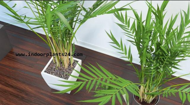 Chrysalidocarpus Lutescens Palmae BUTTERFLY PALM Plant