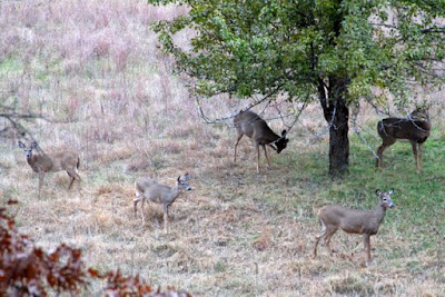 whitetail herd under pear tree