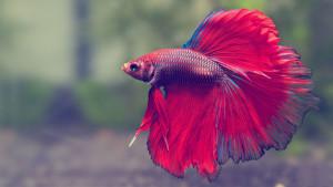 Dunia Ikan Hias - Betta