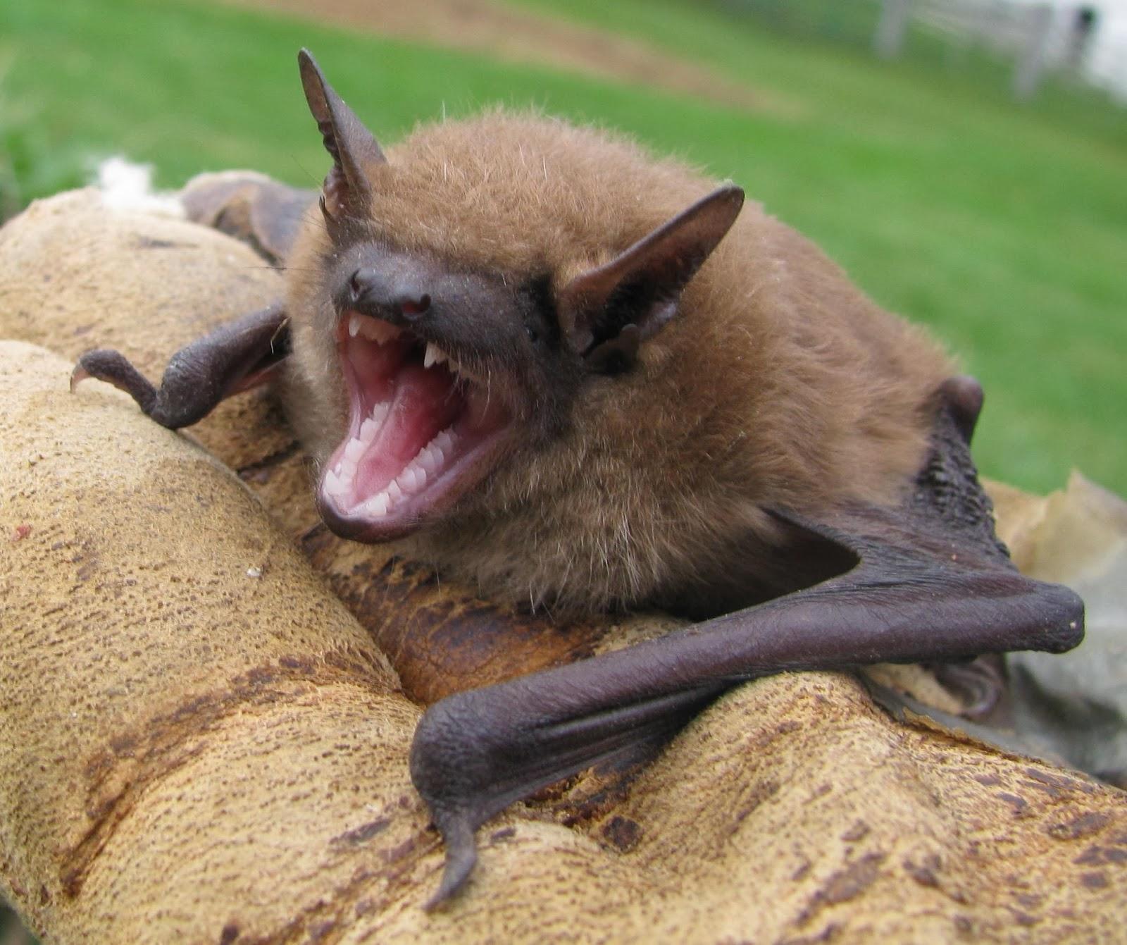 Hermit Musings Virginia Little Brown Bat