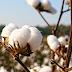 Πέντε προτάσεις της ΔΟΒ προς τους βαμβακοπαραγωγούς ενόψει της επερχόμενης περιόδου σποράς βαμβακιού