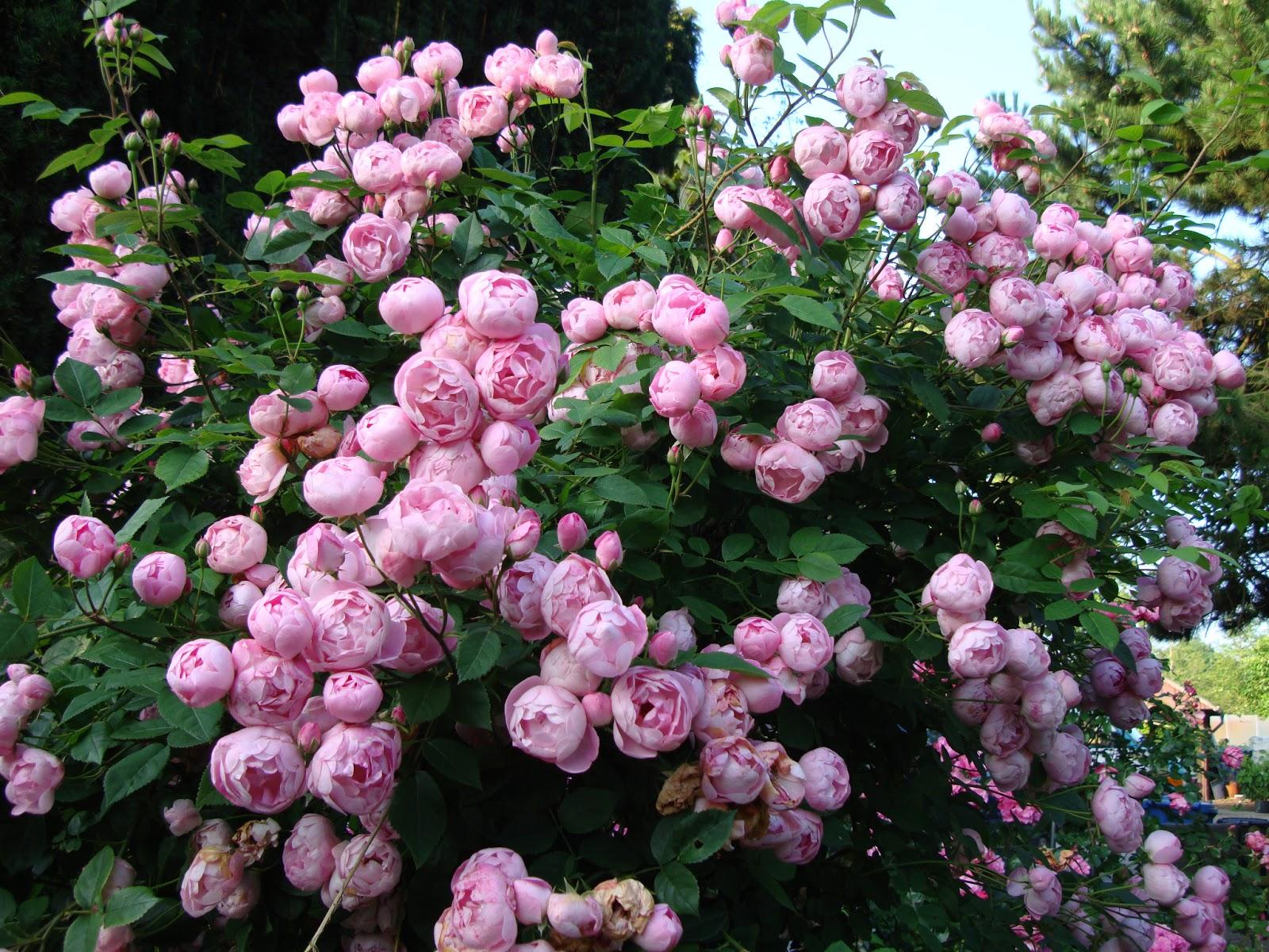 Rosen Samen Kaufen Biedermeier Rose Online Kaufen Rosen Tantau