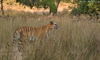 Royal Bengal Tiger Bandhavgarh