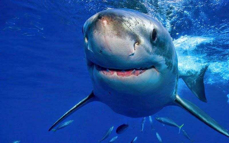 El tiburón blanco es una especie de pez cartilaginoso lamniforme de la familia Lamnidae que se encuentra en las aguas cálidas y templadas de casi todos los océanos. Esta especie es la única del género Carcharodonque sobrevive en la actualidad.
