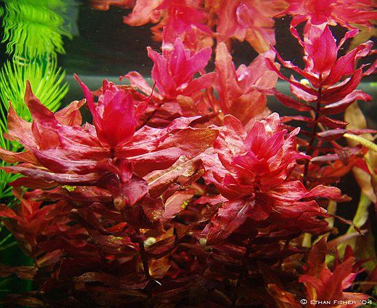 Cây thủy sinh hồng hồ điệp