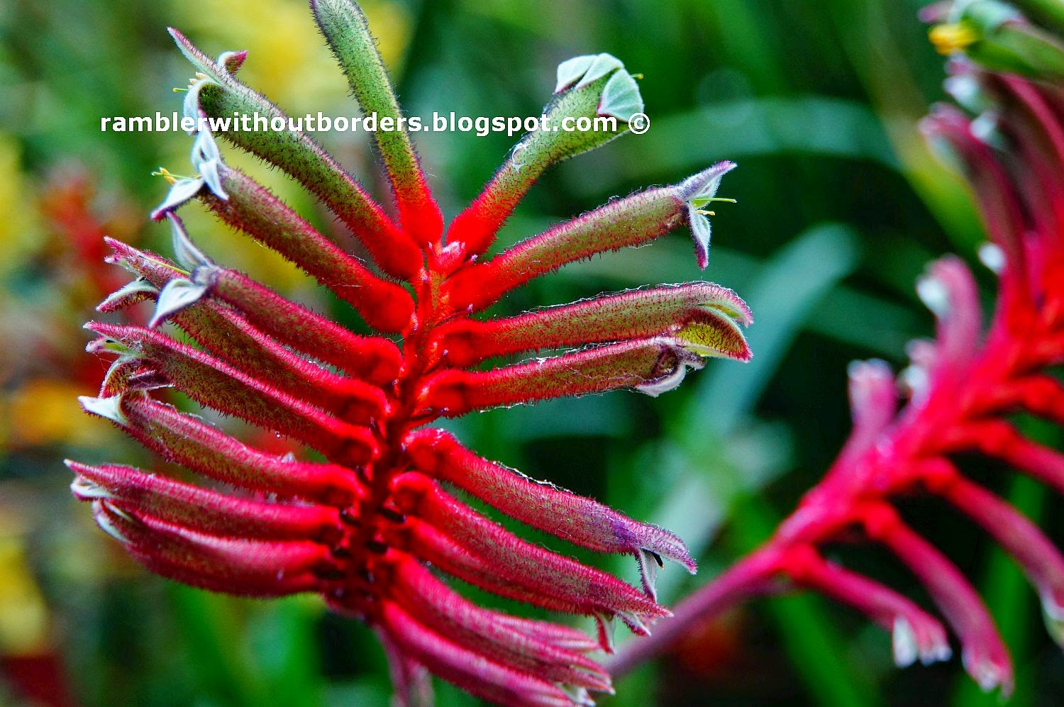 Kangaroo paws, Flower Dome, Gardens by the Bay, Singapore