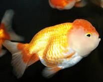 Jenis Ikan Koki Lionhead