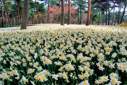 ทุ่งดอกซุยเซ็น (Suisen) @ สวนฮิตาชิซีไซด์ (Hitachi Seaside Park) @ www.hitachikaihin.jp