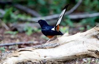 Ciri-ciri burung murai batu