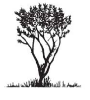 Mengenal Mangrove : Avicennia marina (Forsk.) Vierh.