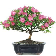 How to Get Acidic Soil for Azaleas