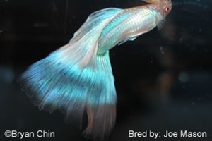 Albino Biru (Blue Albino)