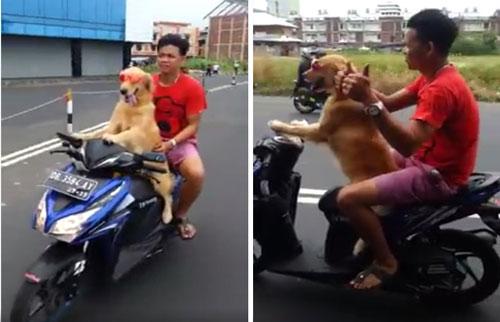 Anjing Mengendarai Motor Matic