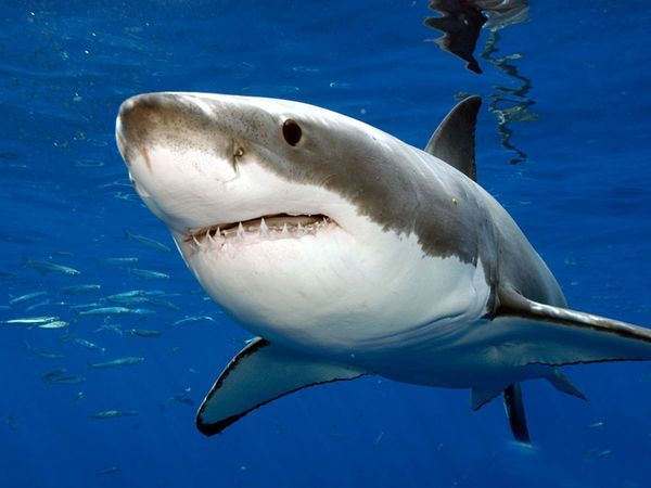 Hiu - Great White Sharks