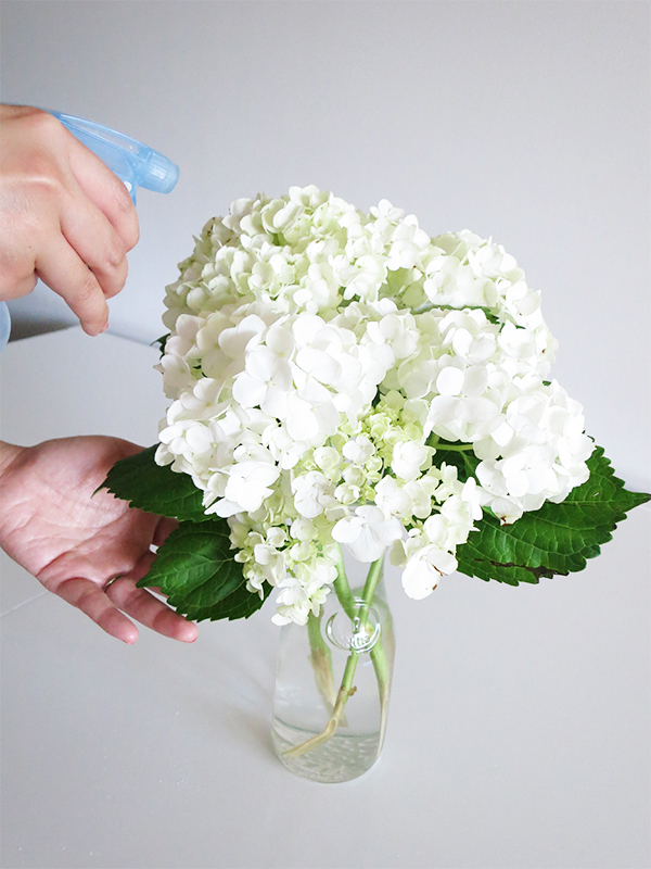 Hydrangeas are hydrophilic plants that absorb water through their stems, leaves, and petals. Every other day, spritz the petals and leaves with water to revive and freshen them, especially if they're starting to wrinkle from dehydration.