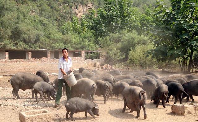 Chăn nuôi lợn ở Trung Quốc